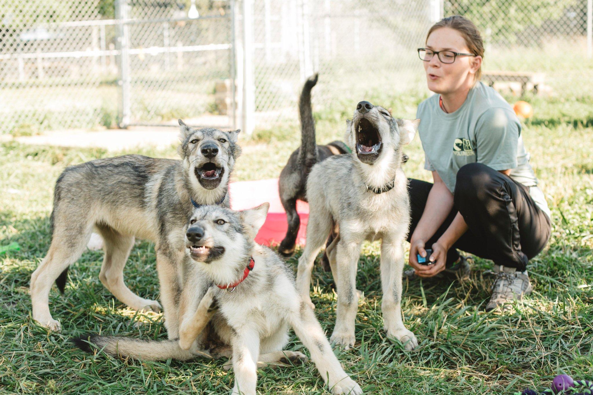 Волчата очаровательны. Пока не услышат зов природы