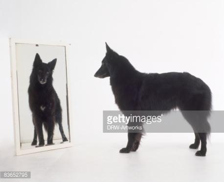 Что собаки видят в зеркале?