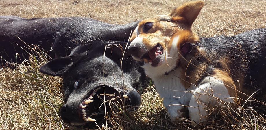 Как выглядит нормальная игра у собак