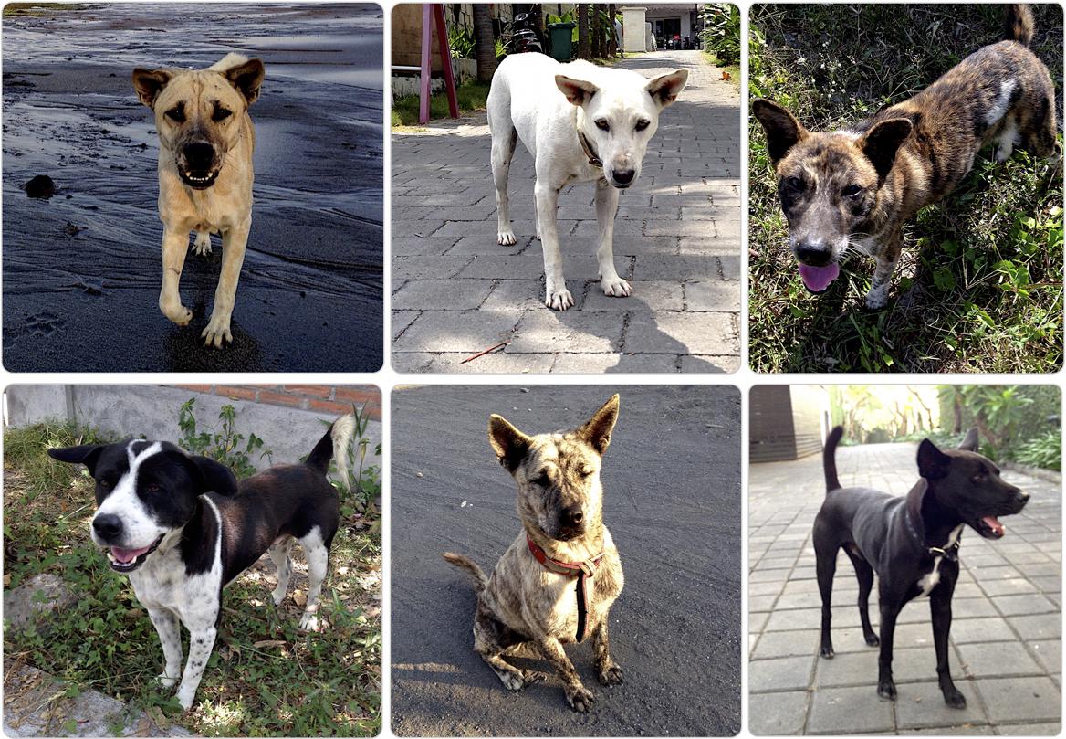 Собаки Бали: уличные vs домашние