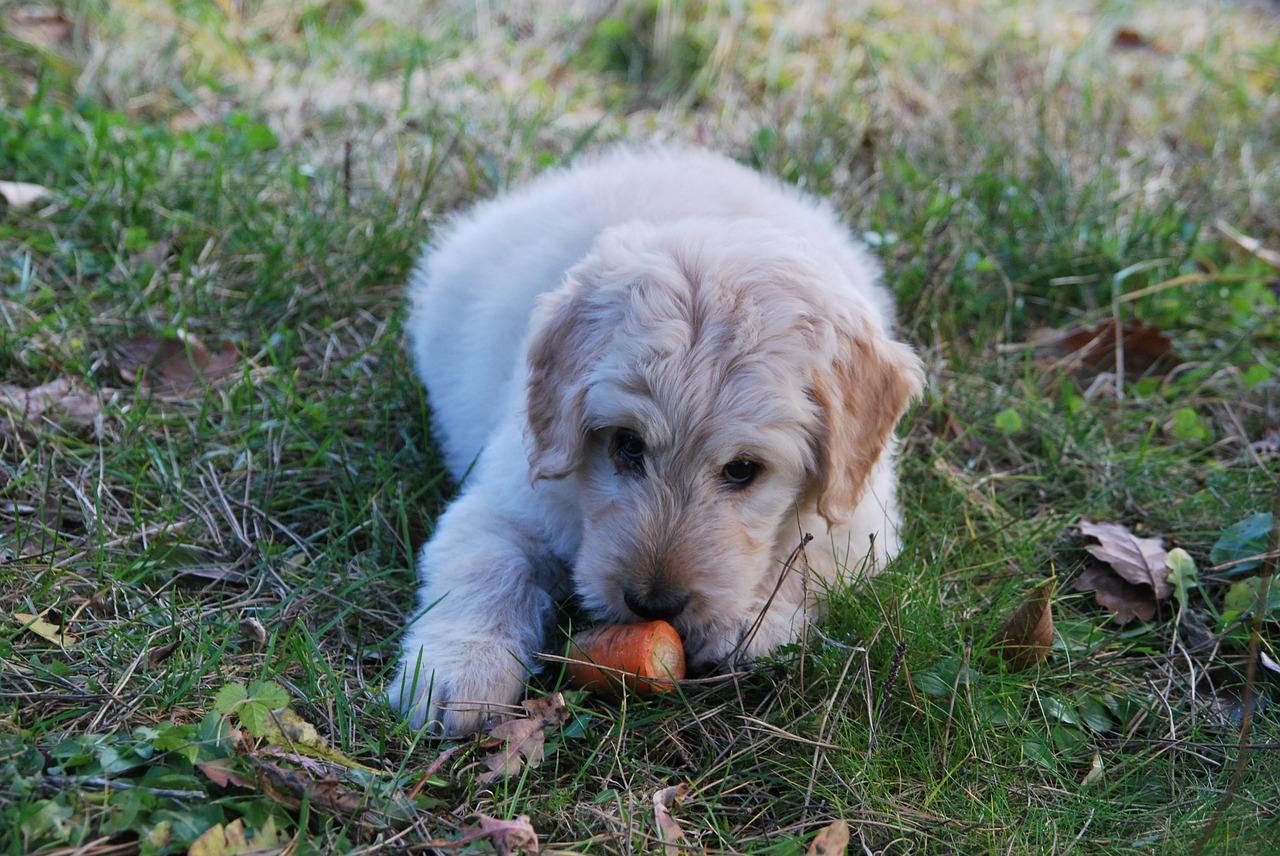 Собаки-вегетарианцы: почему бы и да?