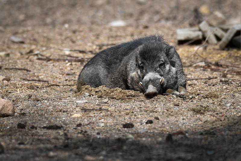Свиньи копают ямки с помощью орудий